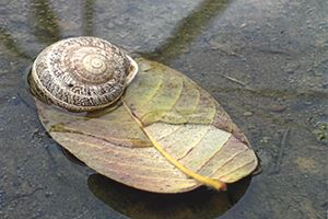 Slug on leaf in water