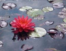 "Katie Mathias ""Pink Water Lily"""